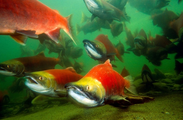 Sockeye spawning in the Adams River, British Columbia – Nature Conservancy/WWF photo.