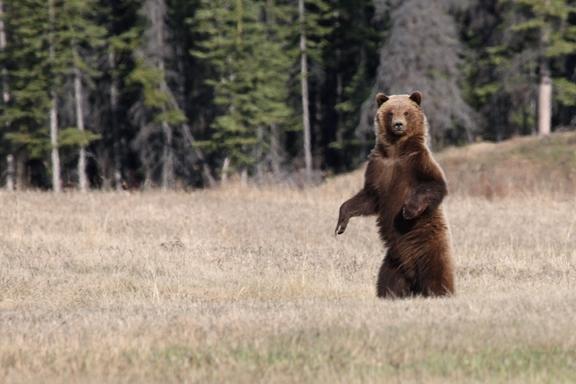 Alsek Valley Grizzly Bear